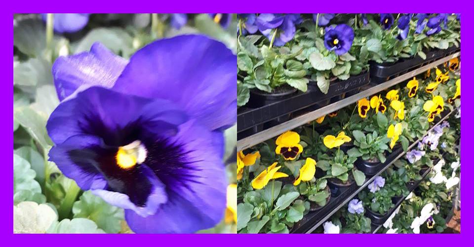Nieuwsitem-Ricks-Bloemen-violen